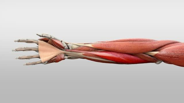Musculus flexor carpi radialis - DocCheck Flexikon