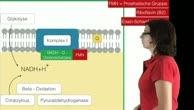 Themenwoche Stoffwechsel: Die Atmungskette - Komplex I