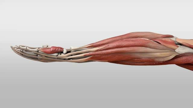 Musculus supinator - DocCheck Flexikon