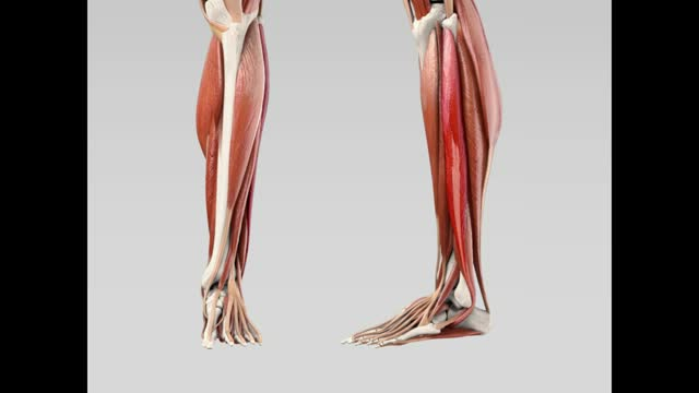 Musculus fibularis longus - DocCheck Flexikon