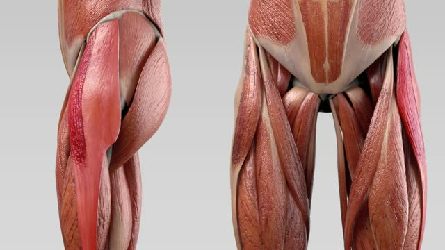 Musculus tensor fasciae latae - DocCheck Flexikon