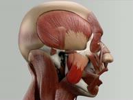 Musculus masseter