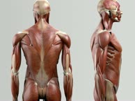 Musculus longissimus