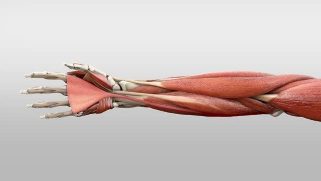 Musculus palmaris longus - DocCheck Flexikon