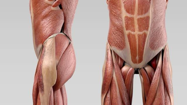Musculus psoas major - DocCheck Flexikon