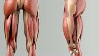 Musculus semimembranosus