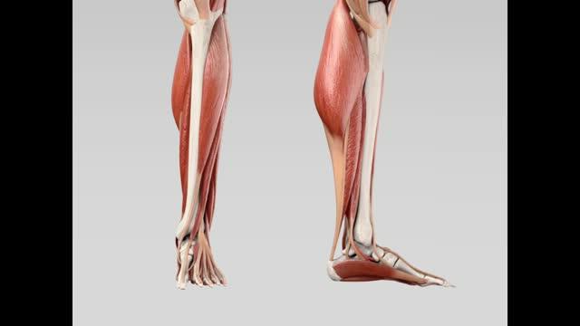 Musculus tibialis posterior - DocCheck Flexikon
