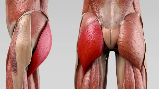 Musculus gluteus maximus - DocCheck Flexikon
