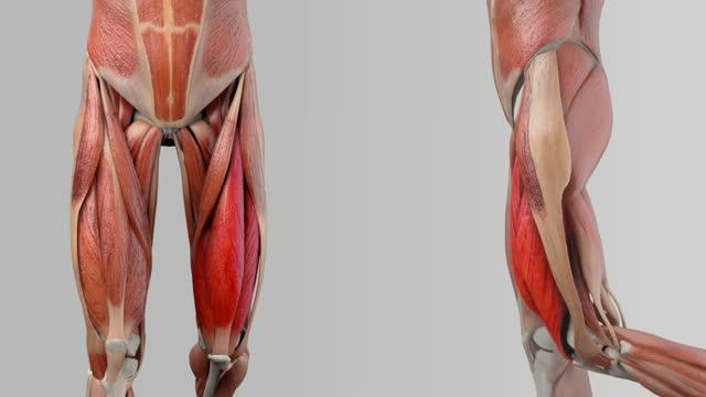 Musculus rectus femoris - DocCheck Flexikon