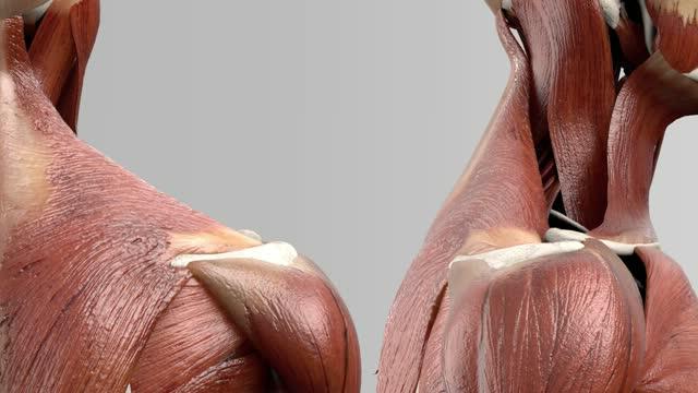 Musculus levator scapulae - DocCheck Flexikon