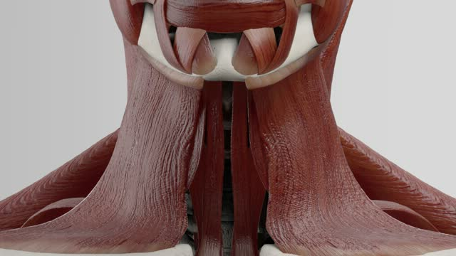 Musculus scalenus medius - DocCheck Flexikon