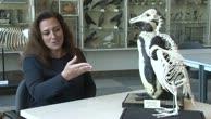 Haben Pinguine eigentlich Knie? Bonner Forscher #10