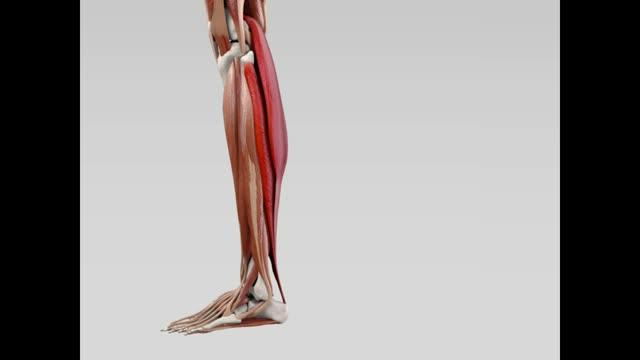 Musculus triceps surae - DocCheck Flexikon