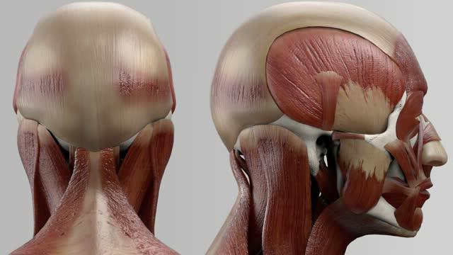 Musculus obliquus capitis inferior - DocCheck Flexikon