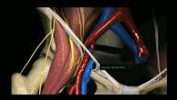 Untere Extremität - Lacuna musculorum und Lacuna vasorum - 3D