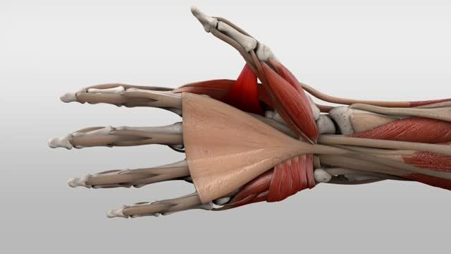 Musculus adductor pollicis - DocCheck Flexikon
