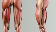 Musculus semitendinosus