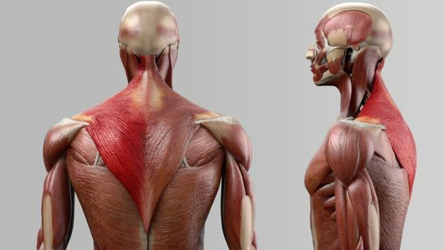 Musculus trapezius - DocCheck Flexikon