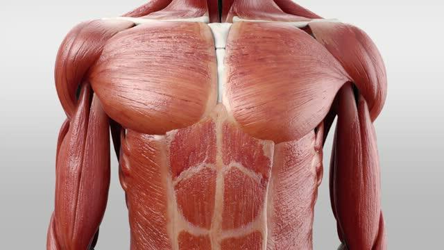 Musculi intercostales externi - DocCheck Flexikon