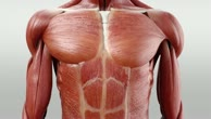 Musculi intercostales externi
