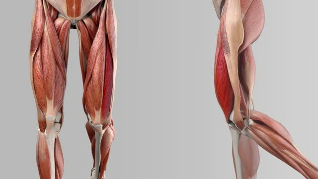 Musculus vastus lateralis - DocCheck Flexikon
