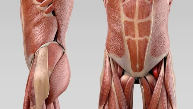 Musculus iliopsoas - DocCheck Flexikon