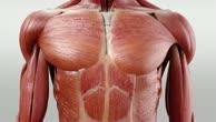 Musculus transversus thoracis