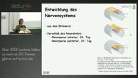Anatomie: Gehirnentwicklung, Gliederung des Gehirns