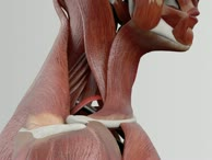 Musculus omohyoideus