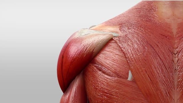 Musculus deltoideus - DocCheck Flexikon