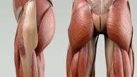 Musculus obturator internus