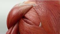 Musculus teres minor