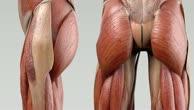 Musculus obturator externus