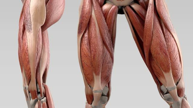 Musculus adductor magnus - DocCheck Flexikon