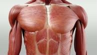 Musculi intercostales intimi