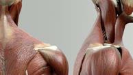 Musculus rhomboideus minor