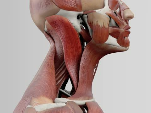 Musculus sternocleidomastoideus - DocCheck Flexikon