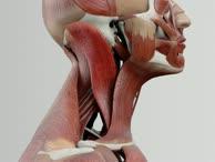 Musculus sternocleidomastoideus