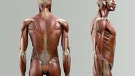 Musculi iliocostales