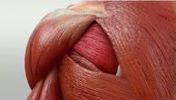 Musculus infraspinatus