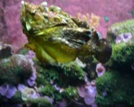 Steinfisch schwimmend