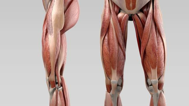 Musculus gracilis - DocCheck Flexikon