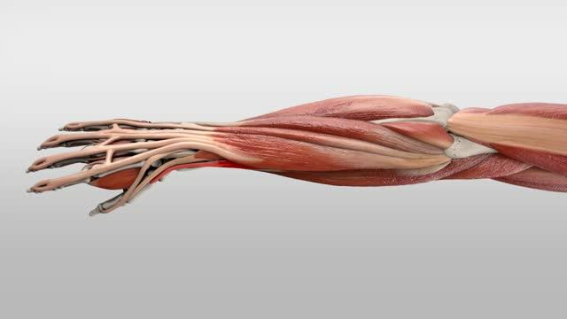 Musculus abductor pollicis longus - DocCheck Flexikon