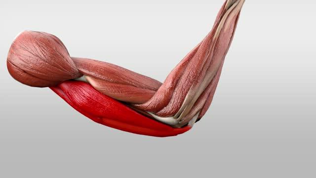 Musculus triceps brachii - DocCheck Flexikon