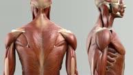 Musculi semispinales