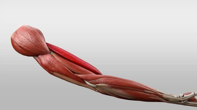 Musculus biceps brachii - DocCheck Flexikon
