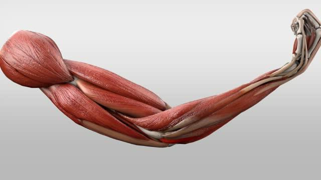 Musculus anconeus - DocCheck Flexikon