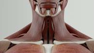 Musculus longus colli