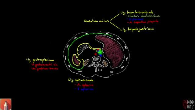 Peritoneum - DocCheck Flexikon