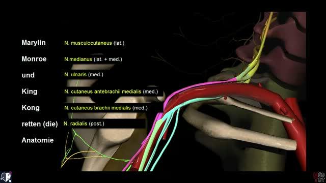 Plexus brachialis - DocCheck Flexikon